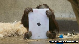 A small orangutan holds an iPad