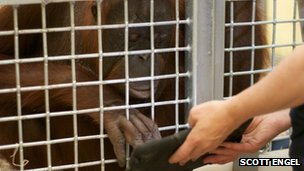 MJ, an orangutan at Milwaukee County Zoo, paints on an iPad app