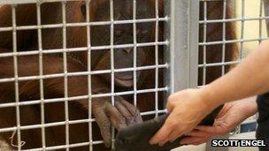 MJ, an orangutan at Milwaukee County Zoo, paints on an iPad app
