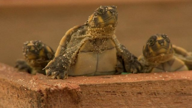 Turtles hatching in Brazil