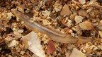 Amphioxus. Pic: Andrew Want/Marine Scotland