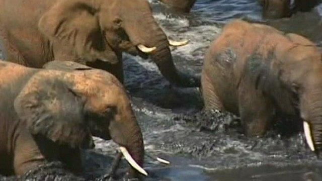 Elephants walk through water