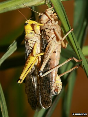 Australian Plague Locusts (c) Toby Hudson