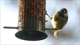 Blue tit eating from a feeder