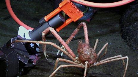 Spider crab investigates monitoring equipment