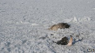 Musk ox frozen into the ice (c) National Parks Service