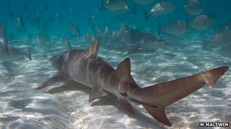 Underwater image of lemon shark (Negaprion brevirostris) swimming amongst fish (C) M MacEwen
