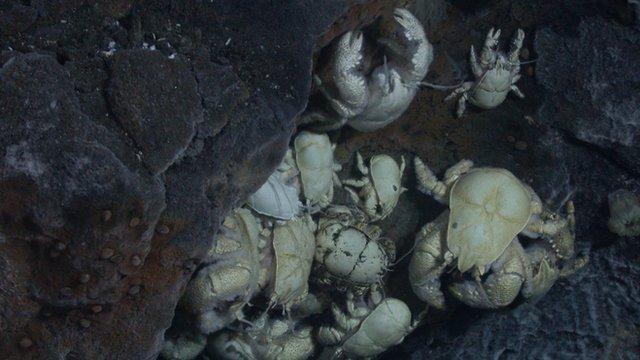 Yeti crabs
