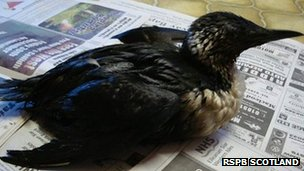 Oil covered guillemot. Pic: RSPB Scotland