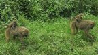 Baboons in Lake Nakuru National Park, Kenya (Photo from BBC News website reader Chris Kamonjoh)