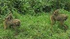 Baboons in Lake Nakuru National Park, Kenya (Photo from BBC News website reader Chris Kamonjoh)