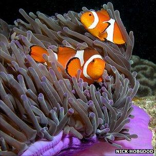 Anenomefish