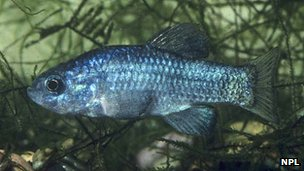 Desert Pupfish