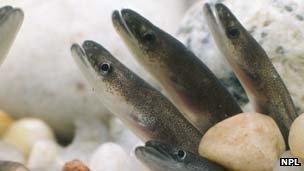 Baby eels