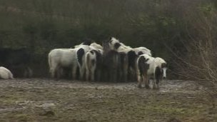 The ponies in Monks Wood, Wick
