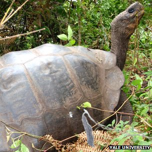 The Isabela tortoises have been breeding with a close relative from elsewhere in the Galapagos