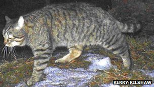 Scottish wildcat. Pic: Kerry Kilshaw/WildCRU/SNH