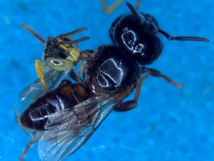 Large robber bee and Jatai soldier bee fighting