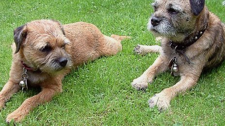 Two border terriers rest their paws (c) David Greaves