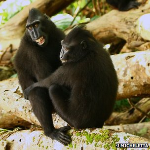 Crested macaques (c) Jerome Micheletta