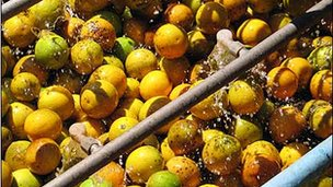 Oranges being washed at Brazilian orange juice factory in Araraquara