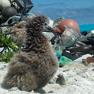 Albatross chick and plastic debris