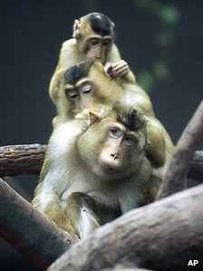 Barbary monkeys