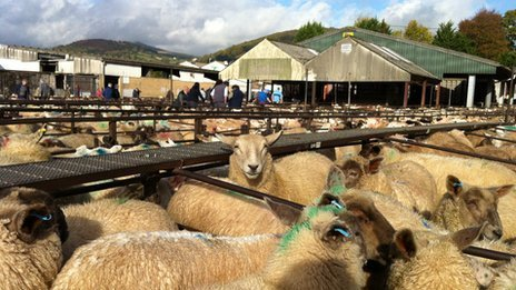 Sheep pens at Abergavenny livestock market