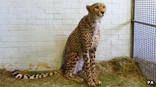 Issac, the cheetah found at Heathrow Airport