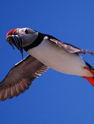 Puffin in flight (Image: BBC)