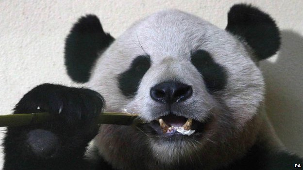 Yang Guang the panda