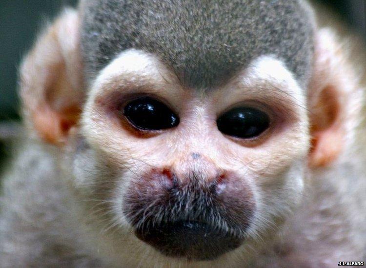Bbc nature monkeys many faces golden backed squirrel monkey saimiri ustus c jessica lynch alfaro ucla voltagebd Images
