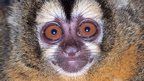 Owl monkey (c) Christy Wolovich/ DuMond Conservancy for Primates and Tropical Forests