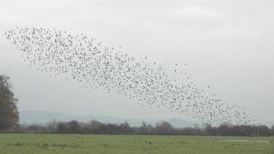 Migrating birds at Slimbridge