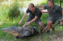 Reptile keeper Brad Gabriel (left) releases American alligator Mr Skinny