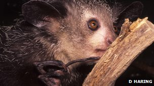 The aye aye has a delicate middle digit (c) David Haring