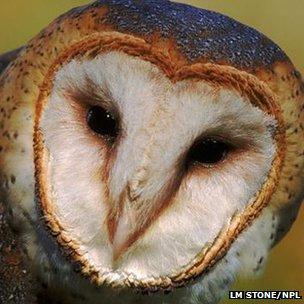 Barn owl (c) Lynn M Stone/NPL