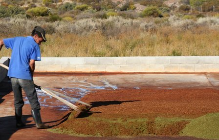 A worker spreads crushed rooibos leaves to allow them to dry, picture by B. Koelle
