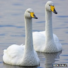 Whooper swans. Pic: Ben Hall