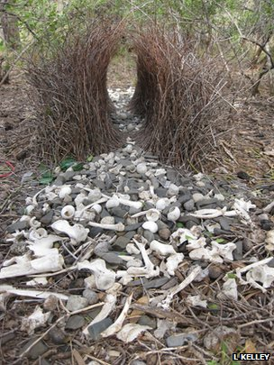 The great bowerbirds' display (c) Laura Kelley