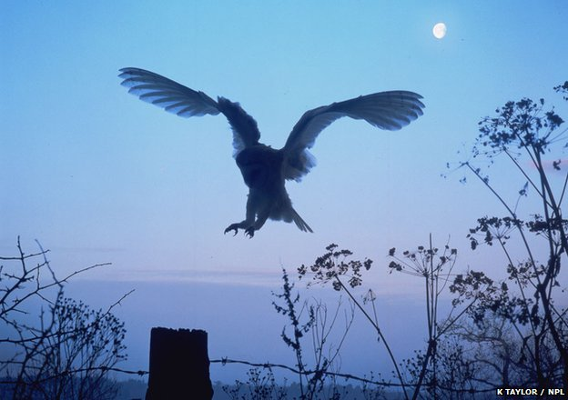 Barn owl (c) Kim Taylor / naturepl.com