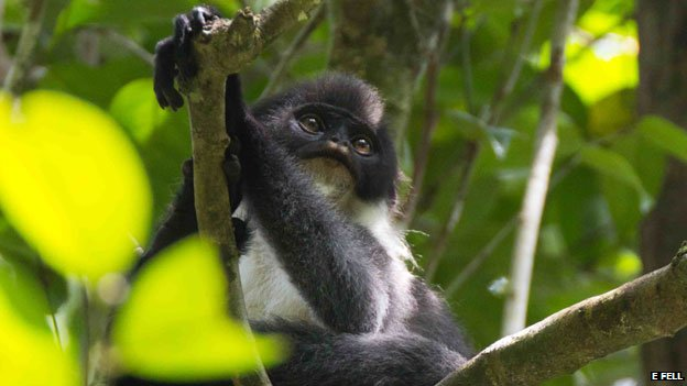A Miller's grizzled langur. Picture by E Fell