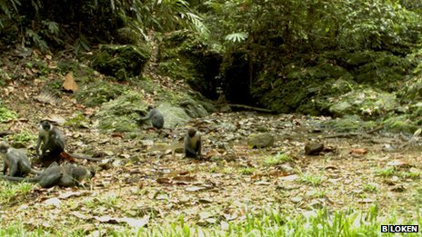 Miller's grizzled langurs on the camera trap. Picture by B Loken