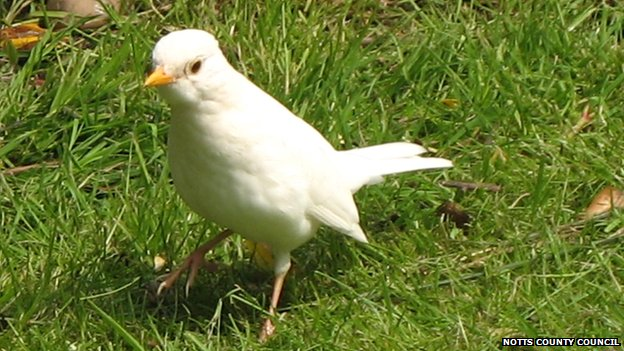 White blackbird (c) Notts county council