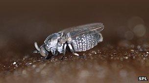Feeding black fly