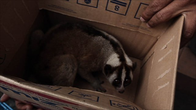 Slow loris in a box