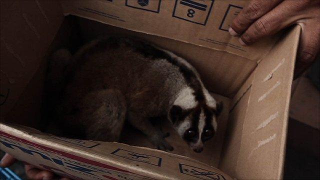 Slow loris in a box
