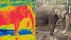 Comparison of a thermal image of an Asian elephant and a photograph (c) Busch Gardens