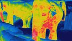 Thermal image of Asian elephants  at night (c) Busch Gardens
