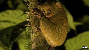 Wild Western/Sunda tarsier (Tarsius bancanus)